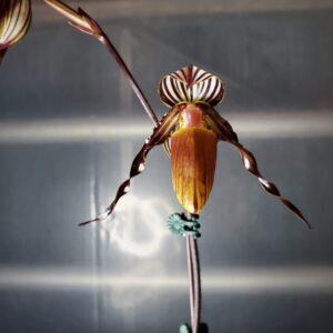 Low light Orchids